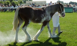 Chalk used to whiten legs blows from a Clydesdale horse during judging at the Great Yorkshire Show in Harrogate. Photograph: Ian Forsyth/Getty Images