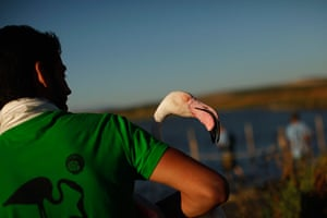 Flamingos: A volunteer holds a flamingo after it was fitted with an identity ring. Aro