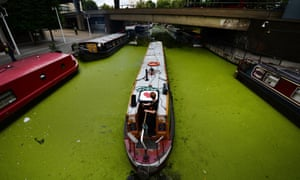 Algae blooms covering the surface of the Paddington canal basin in London. High temperatures, along with heavy rain that have led to fertilisers being washed into ponds and lakes, has led to a larger than usual explosion of algae across many of Britain's waterways.
