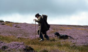 Bright purple heather in the Yorkshire dales as shooting parties make their way to the butts on the Glorious 12th, the traditional start of the Grouse shooting season.