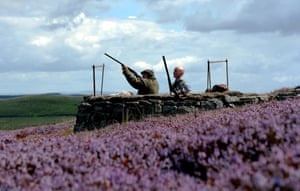 Bright purple heather in the Yorkshire dales surrounds a shooting butt on the day of the Glorious 12th, the traditional start of the Grouse shooting season.