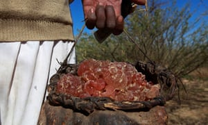 A farmer carries collected gum arabic from an Acacia tree in the western Sudanese town of El-Nahud