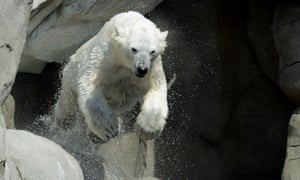 A polar bear dives into its pool at Hagenbeck Zoo in Hamburg over the weekend. Photograph: Rex Features/Action Press