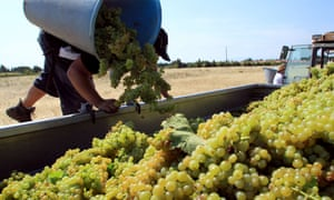A worker harvests muscat grapes at the vineyards of Domaine de Rombeau in Rivesaltes, southern France. Photograph: Raymond Roig/AFP/Getty Images