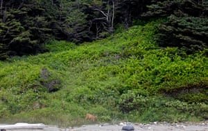 Week in wildlife: A doe emerges from the brush to eat leaves at Shi Shi Beach