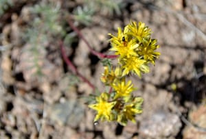 Week in wildlife: Webber's ivesia