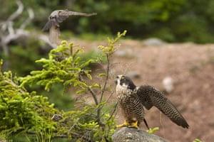 Week in wildlife: American robin versus peregrine falcon, Bay of Fundy, Canada
