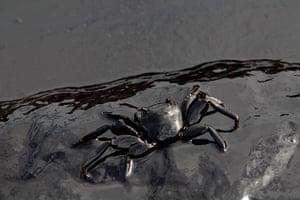 Week in wildlife: A crab covered in oil slick is seen at Ao Prao Beach in Koh Samet