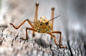 Week in wildlife: Florida Lubber Grasshopper