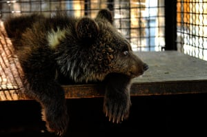 Week in wildlife: six-month-old female bear cub, lies on a crate in a zoo in Haisyn, Ukraine