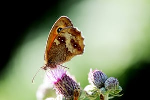 Week in wildlife: Meadow Brown butterfly