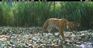 Week in wildlife: Tigress with cubs, Chitwan National Park, Terai Arc Landscape, Nepal.