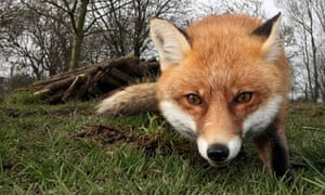 My battle with the urban fox | Environment | The Guardian