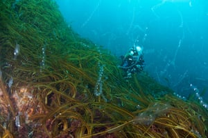 Orkney Islands Jellyfish : diver among salps