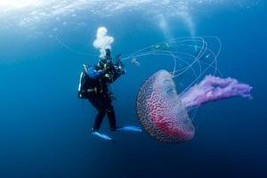 Orkney Islands Jellyfish : Pelagia noctiluca