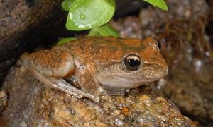 booroolong frog