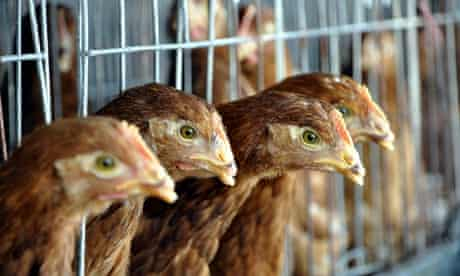 Chickens at a poultry farm in Liaocheng, Shandong province, China