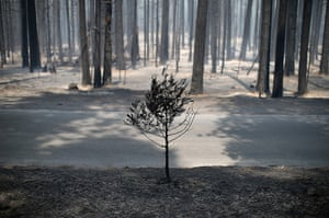 Weekend in pictures: Groveland, USA: The remains of a small tree stands near trees burned by the