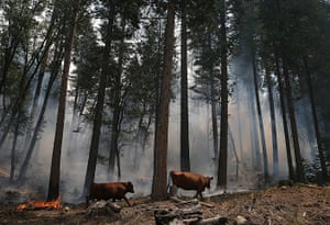 Wildfire update: Cows walk through a section of forest that was burned by the Rim Fire outsi