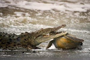 2013 WPY: crocodile with a large green turtle