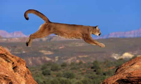 A puma jumping from a rock