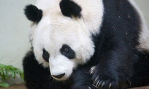 Tian Tian giant panda Edinburgh zoo