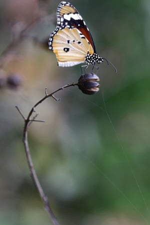 A Common Tiger (Danaus genutia) butterfly sits on a plant after a brief spell of rain in New Delhi, India.