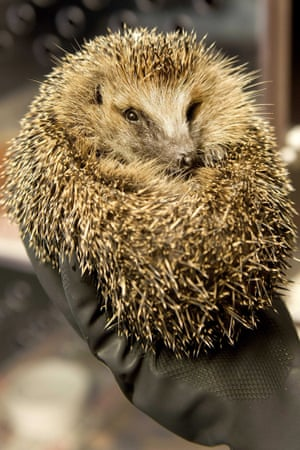 This one is a hedgehog, in a hedgehog refuge in Zoetermeer, The Netherlands. Due to high temperatures they are finding it difficult to find water, food and natural shelter.