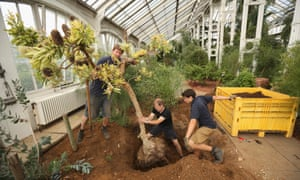 Horticulturalists from the Royal Botanic Gardens, Kew, remove a Banksia Serrata tree from the Temperate House prior to a five-year refurbishment of the glasshouse.