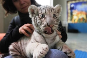 A white Bengal tiger cub plays with a journalist during a press presentation at Huachipa's private zoo in Lima. The 41-day-old, yet unnamed cub was born at the park and is the first white Bengal tiger in Peru to have been born in captivity. Photograph: Mariana Bazo/Reuters