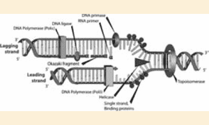 DNA replication figure from Kindle version of Robert Olby's biography of Francis Crick