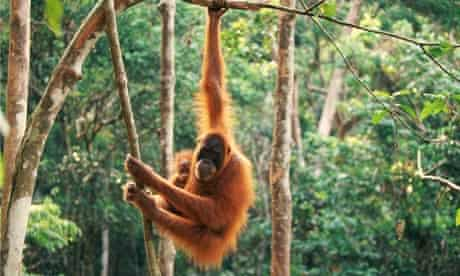 environment orangutan
