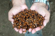 Maniwara ants