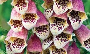 Plant of the week: Foxglove 'Leopardskin'