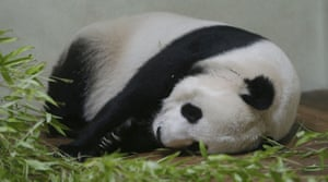 And here it is, our mandatory panda photo of the day: Tian Tian in her enclosure at Edinburgh zoo. Keepers at the zoo believe Tian Tian may be pregnant. There are indications she could give birth to the UK's first panda cub within weeks, zoo staff say. Changes in the levels of the panda's protein and her progesterone hormone suggest her artificial insemination in April may have been successful. Photograph: Danny Lawson/PA