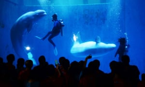 People watch the performance of white whales in Harbin, northeast China's Heilongjiang Province on the occasion of the Qixi Festival, or Chinese Valentine's Day, which falls on Aug. 13 this year. Photograph: Wang Kai/Xinhua Press/Corbis