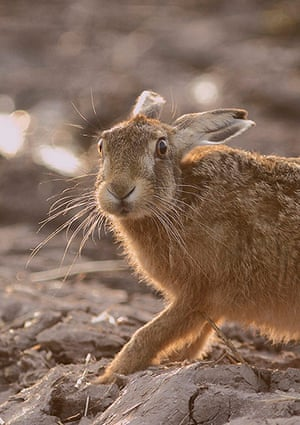 Wildlife Photography 2013: Brown hare