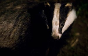 Wildlife Photography 2013: A badger