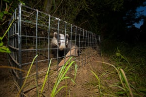 Wildlife Photography 2013: Badger cage