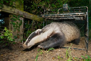 Wildlife Photography 2013: Badger free