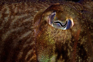 Wildlife Photography 2013: Cuttlefish Detail