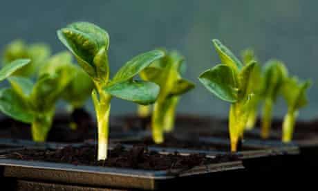 Broad Bean, Aquadulce, seedlings in pots in a greenhouse