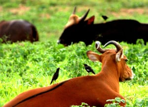 Southeast Asia: ungulate species living on the edge