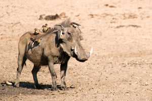 Ugly Animals: A mudmask might help: A warthog (Phacochoerus aethiopicus) with Red billed