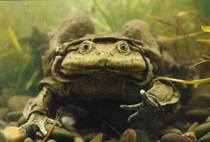 Ugly Animals: Giant Titicaca Lake Frog in Bolivia. The Titicaca water frog (Telmatobius c