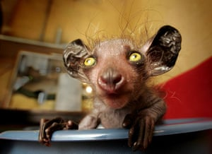 Ugly Animals: Eye-eye: A baby aye-aye, an unusual mammal native to Madagascar.
