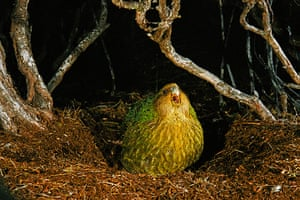 Ugly Animals: Sitting pretty: A Kakapo calling, Strigops habroptila, Codfish Island, New