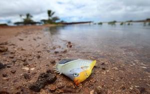 Week in wildlife: A dead fish washed ashore in Keehi Lagoon in Honolulu, Hawaii