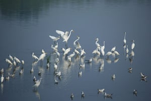 Week in wildlife: Egrets Seen At The Wetland Of The Futuan River In China