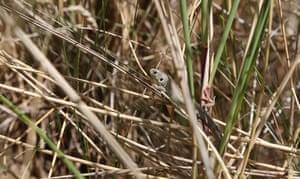 Week in wildlife: Sand Lizard released into the wild